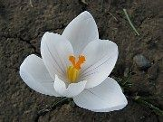 A Lone Spring Crocus - such a delicate flower